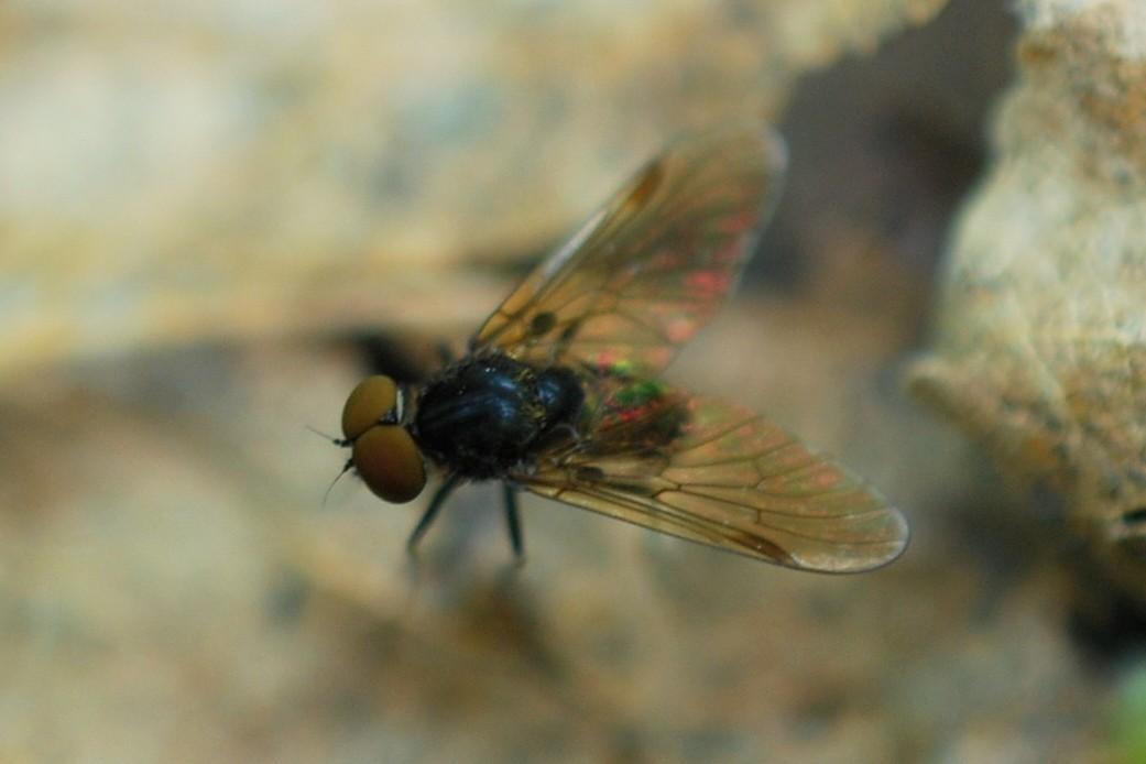 Chrysopilus cristatus - Rhagionidae
