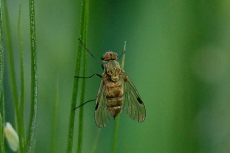 Chrysopilus sp. - Rhagionidae