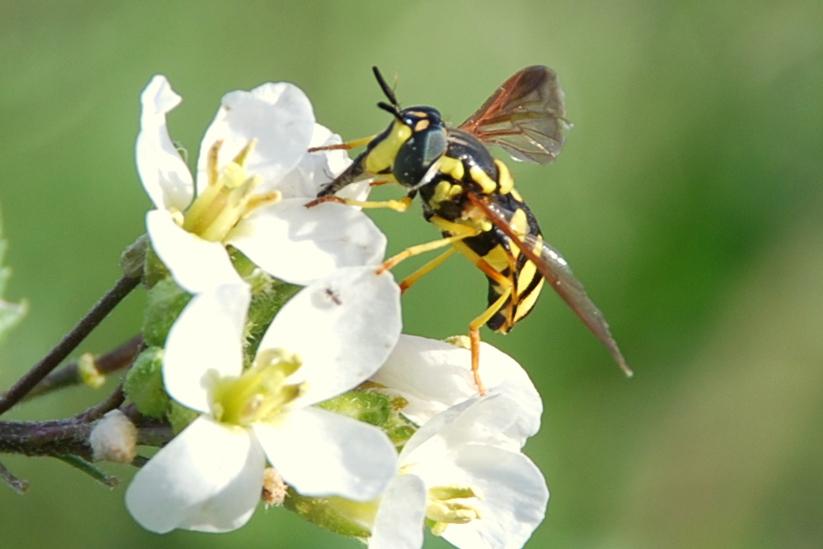 Chrysotoxum intermedium - Syrphidae