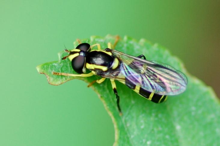 Chrysotoxum sp. - Syrphidae