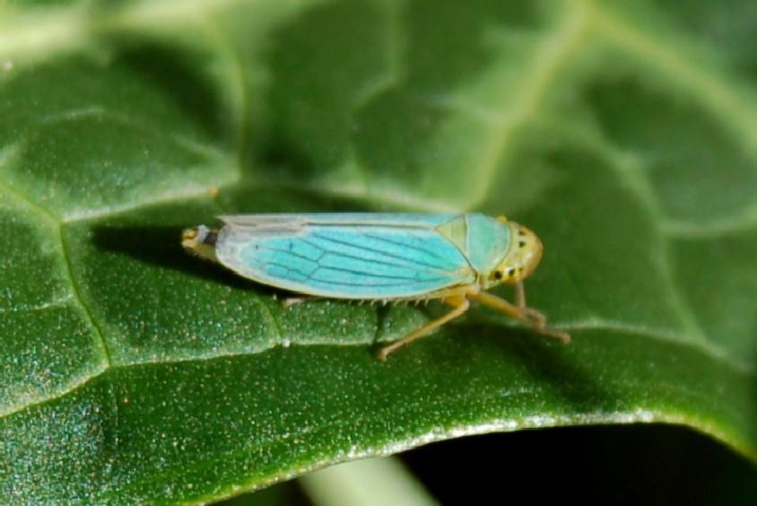 Cicadella viridis - Cicadellidae