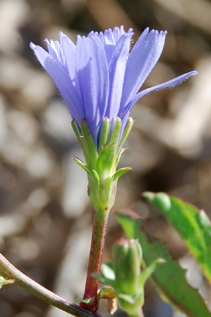 Cichorium intybus 5