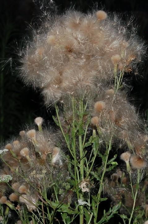 Cirsium arvense 5