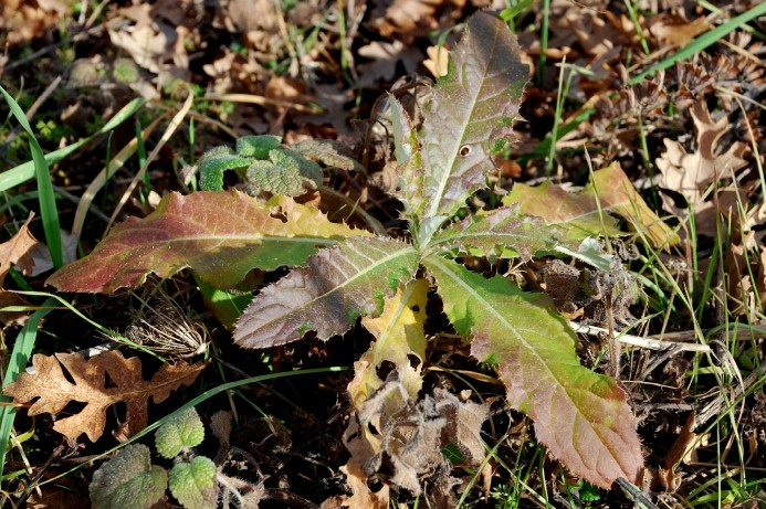 Cirsium arvense 8