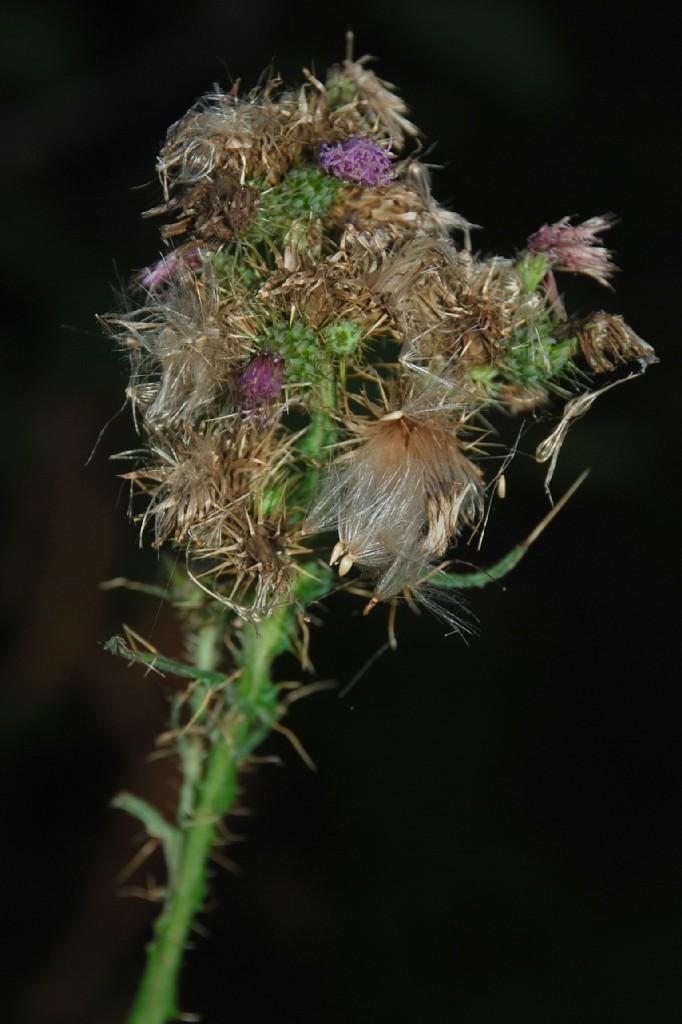 Cirsium creticum subsp. triumfetti 17