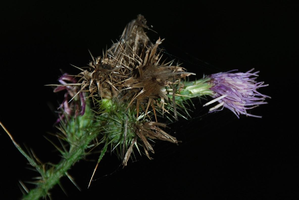 Cirsium creticum subsp. triumfetti 18