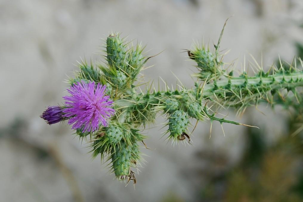 Cirsium creticum subsp. triumfetti 22