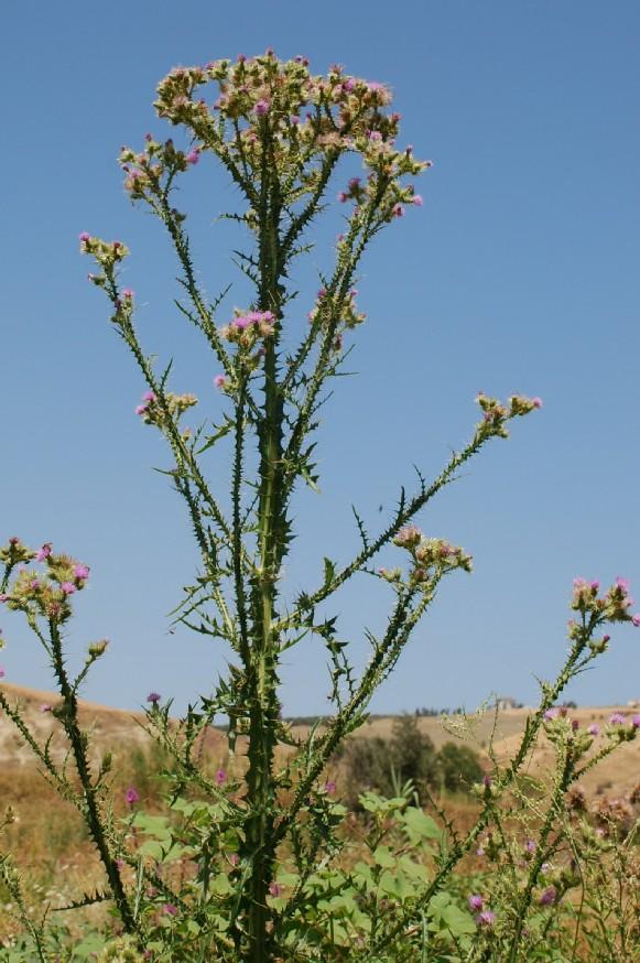 Cirsium creticum subsp. triumfetti 25