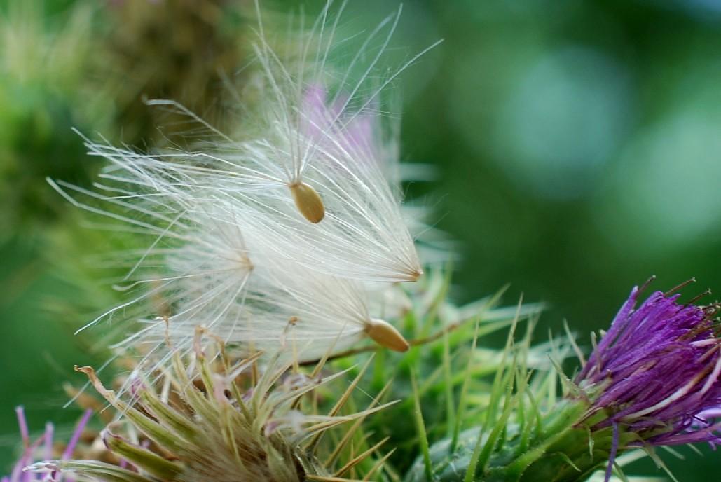 Cirsium creticum subsp. triumfetti 30