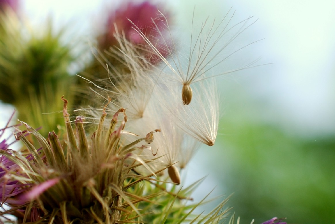 Cirsium creticum subsp. triumfetti 31