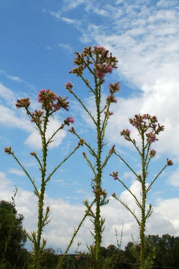 Cirsium creticum subsp. triumfetti 5