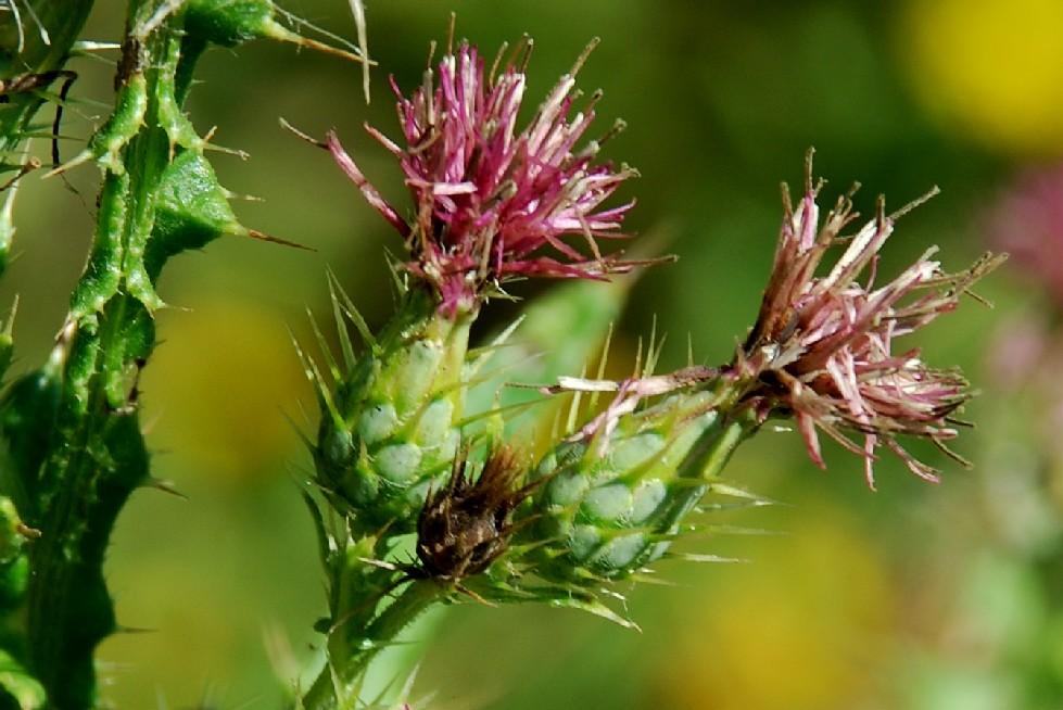 Cirsium creticum subsp. triumfetti 8