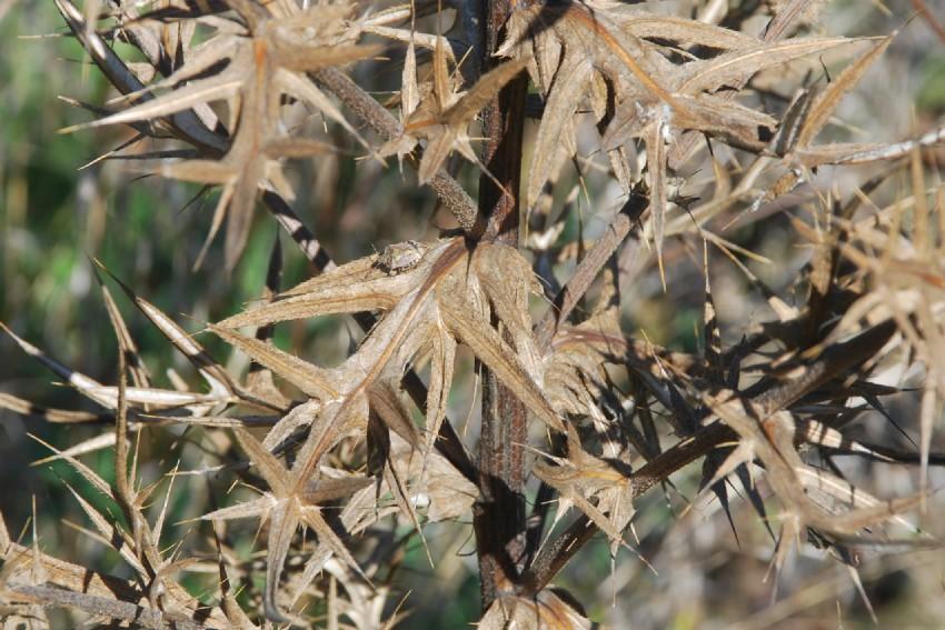Cirsium tenoreanum 27