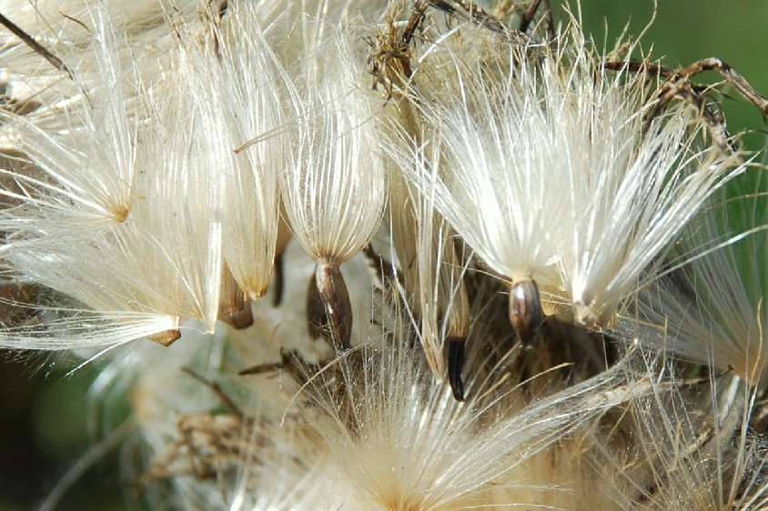 Cirsium tenoreanum 28