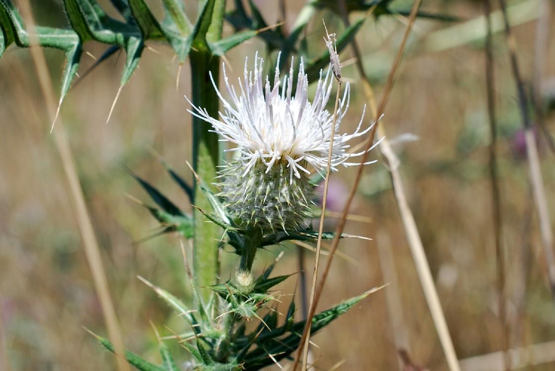 Cirsium tenoreanum 30