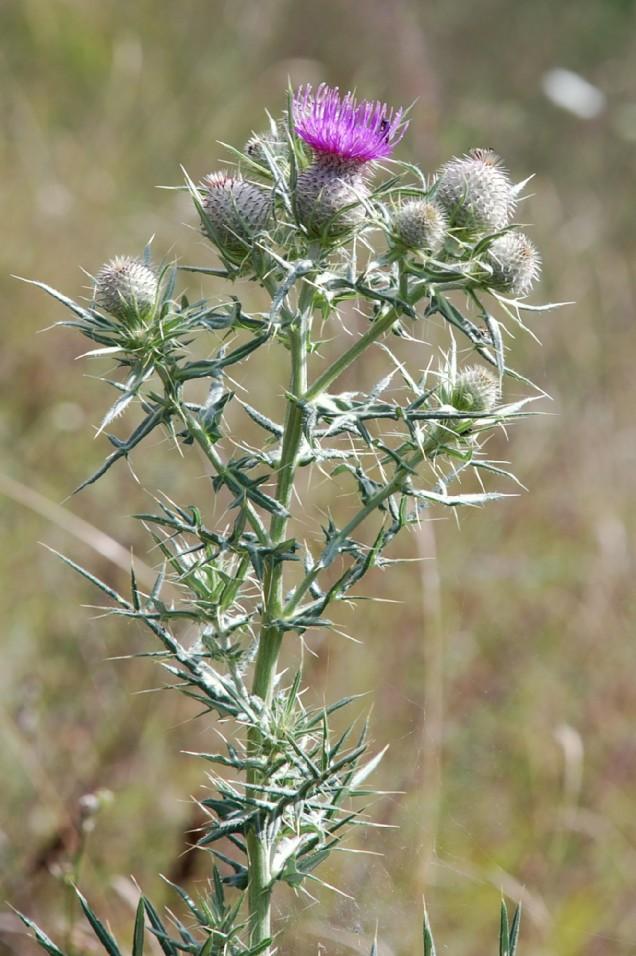 Cirsium tenoreaum 10