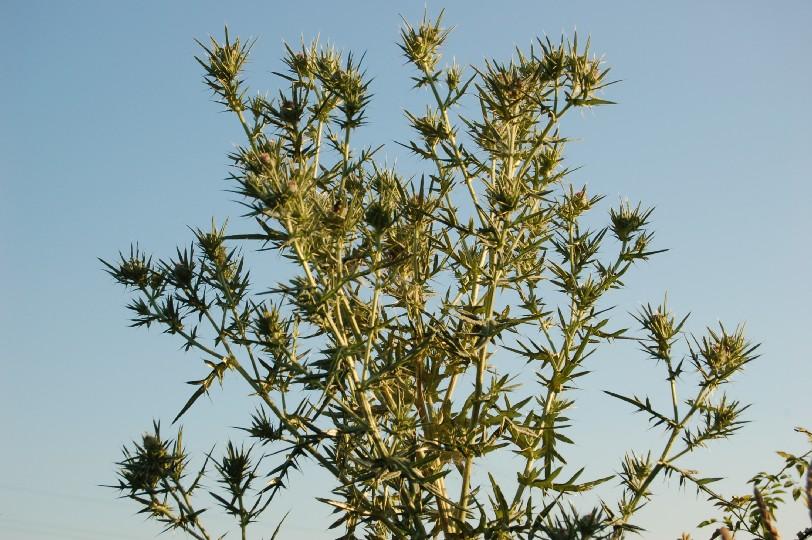 Cirsium tenoreaum 2