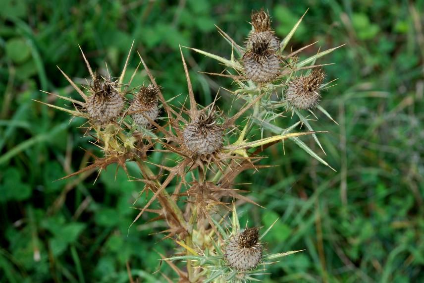 Cirsium tenoreaum 23