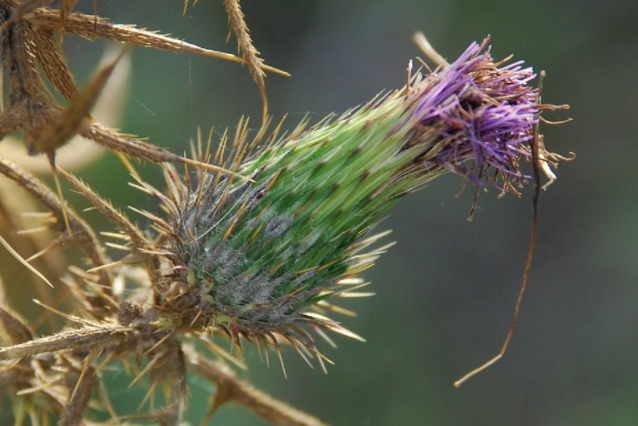 Cirsium vulgare 5