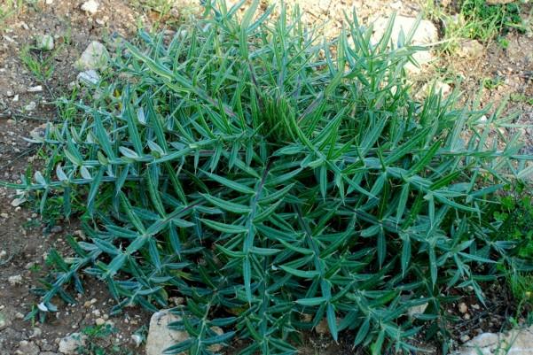 Cirsium vulgare 7