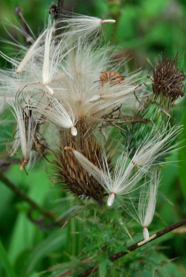 Cirsium vulgare 8