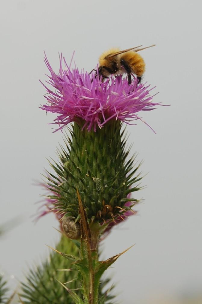 Cirsium vulgare subsp. vulgare 14