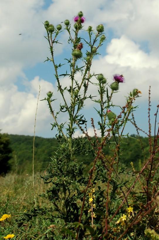 Cirsium vulgare subsp. vulgare 20