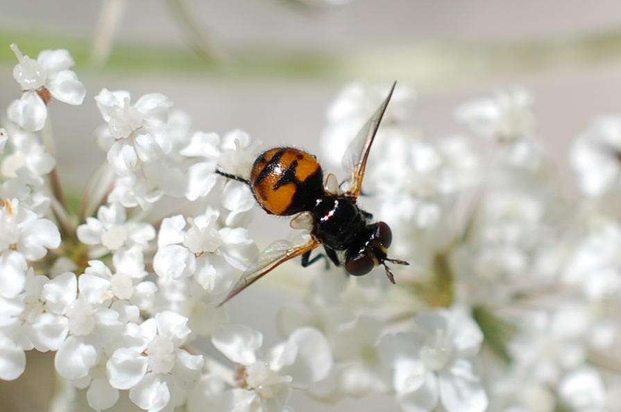 Cistogaster globosa - Tachinidae