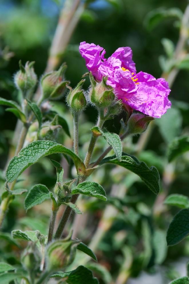 Cistus creticus subsp. creticus 2