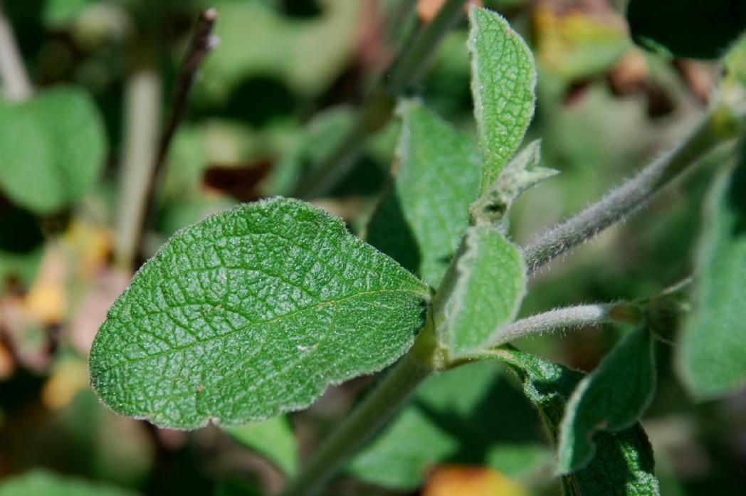 Cistus creticus subsp. creticus 4