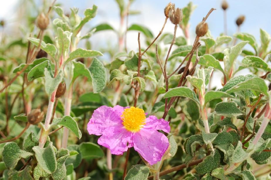 Cistus creticus subsp. creticus 6