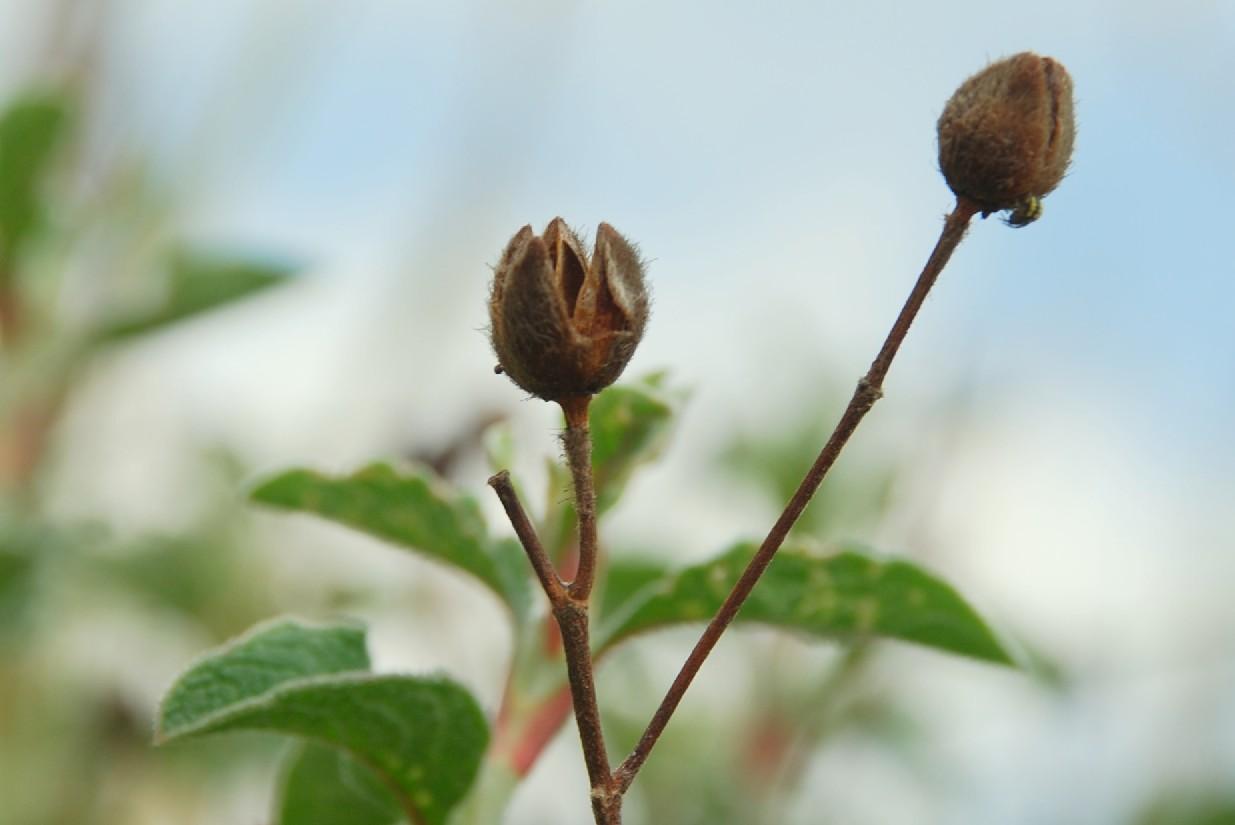 Cistus creticus subsp. creticus 8