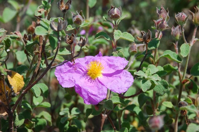 Cistus creticus subsp. creticus 9