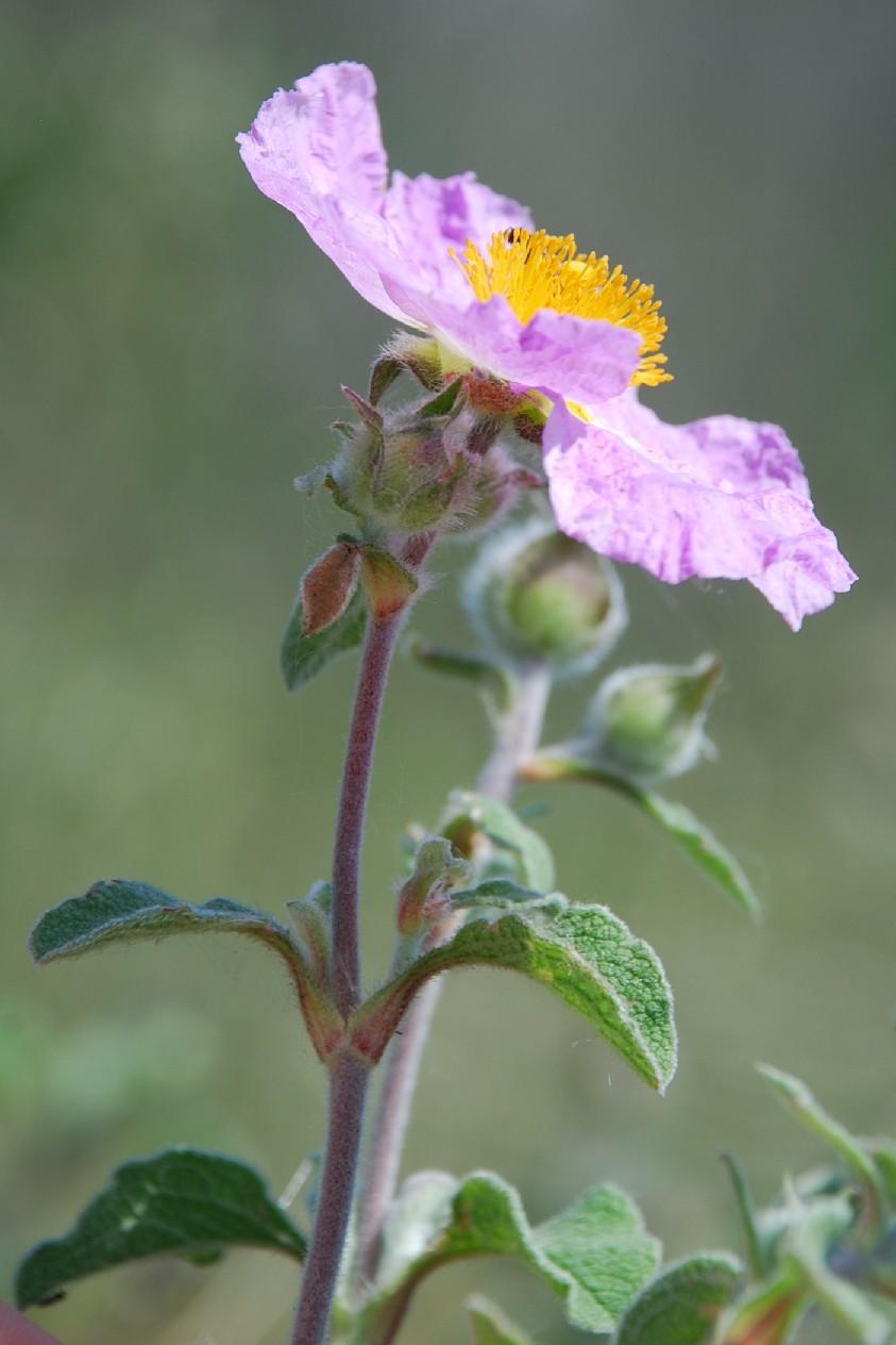 Cistus creticus subsp. eriocephalus 10
