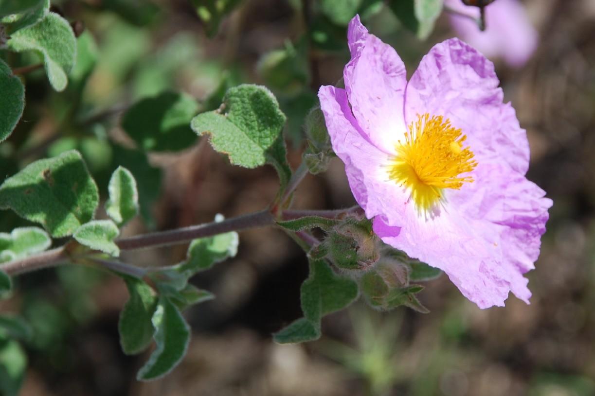 Cistus creticus subsp. eriocephalus 11