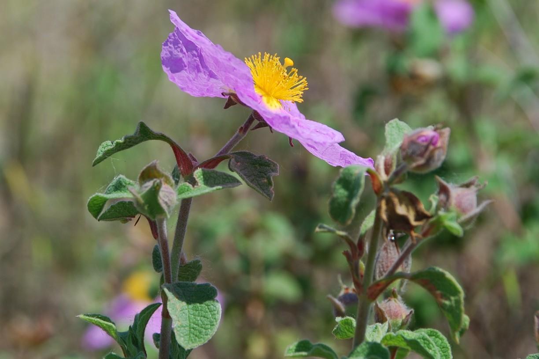 Cistus creticus subsp. eriocephalus 12