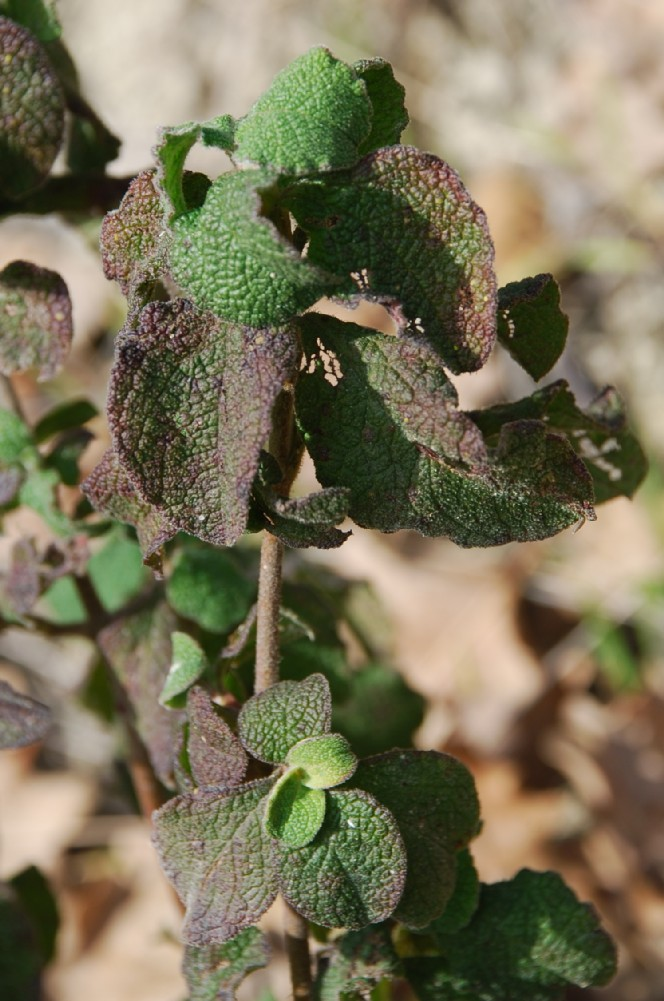 Cistus creticus subsp. eriocephalus 14