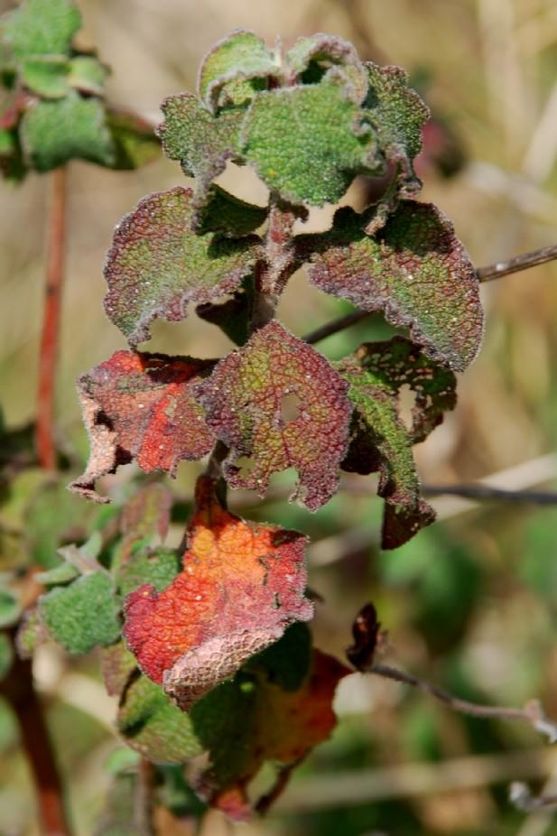 Cistus creticus subsp. eriocephalus 15