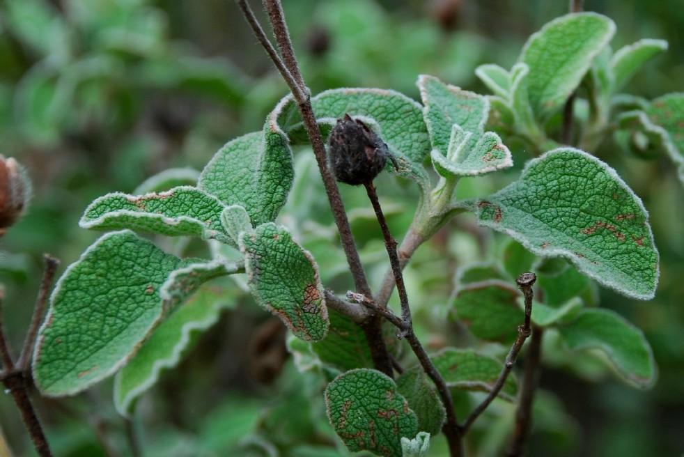 Cistus creticus subsp. eriocephalus 2