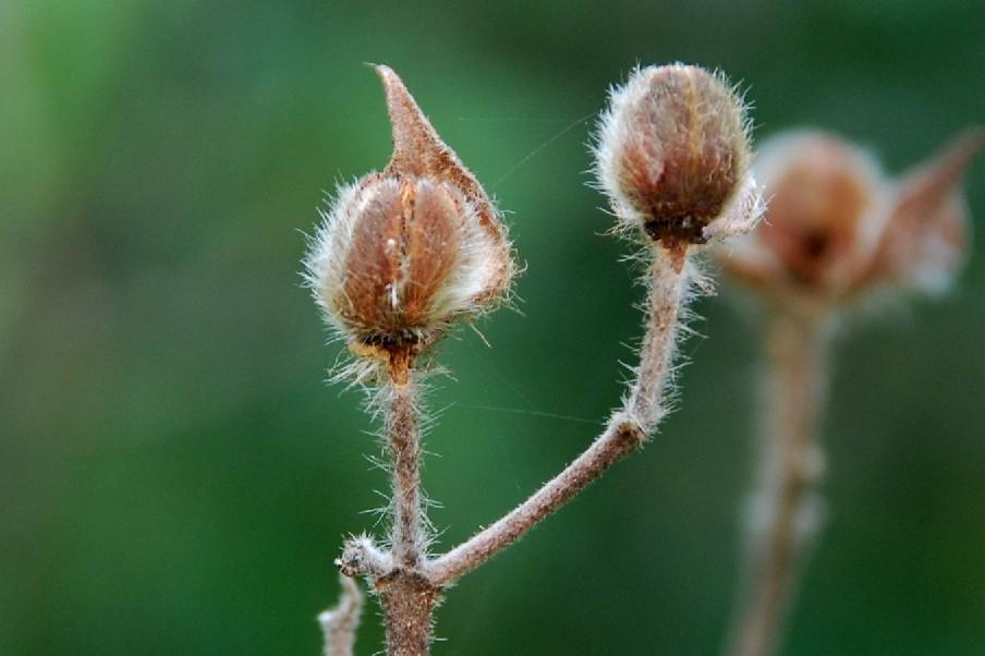 Cistus creticus subsp. eriocephalus 4