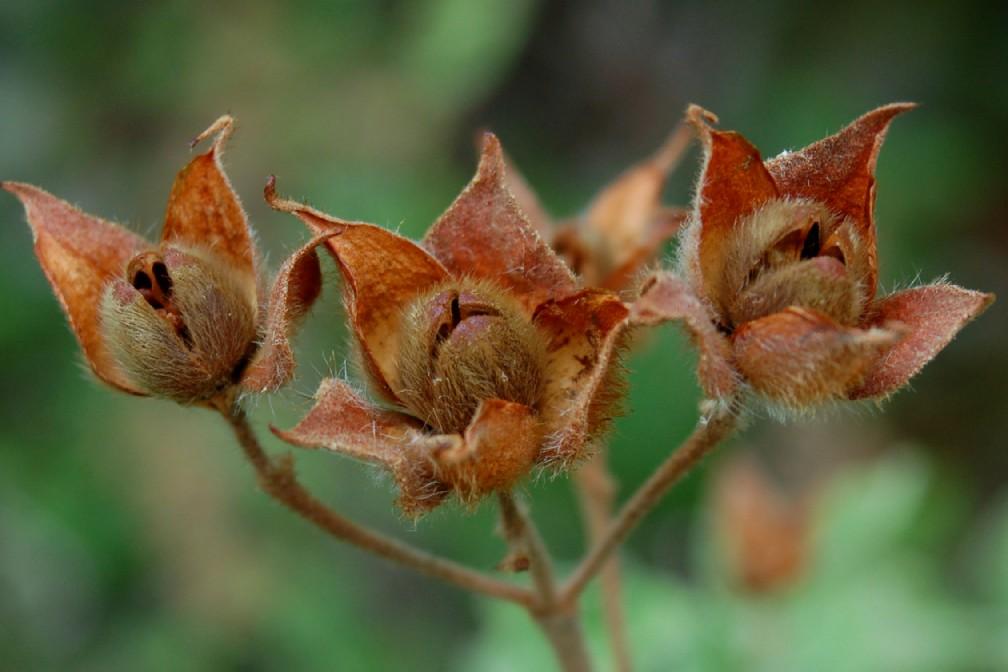 Cistus creticus subsp. eriocephalus 5