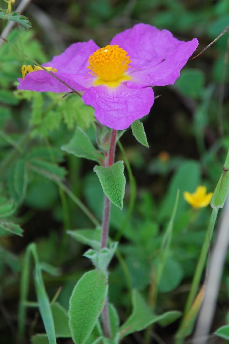 Cistus creticus subsp. eriocephalus 6