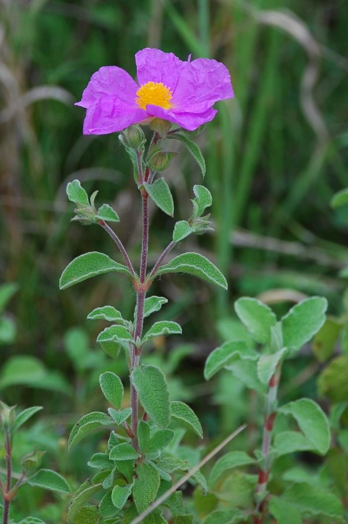 Cistus creticus subsp. eriocephalus 7
