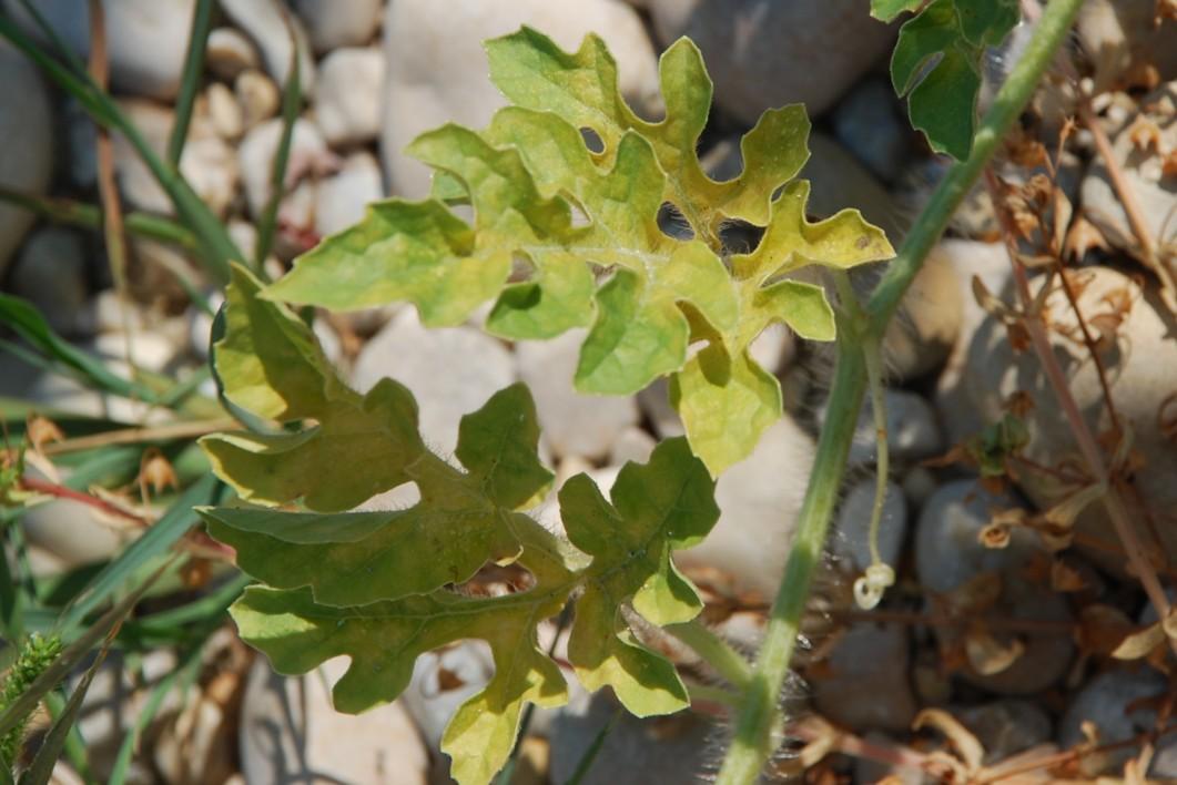 Citrullus lanatus 10