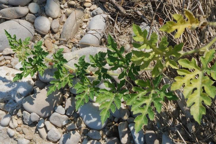 Citrullus lanatus 11