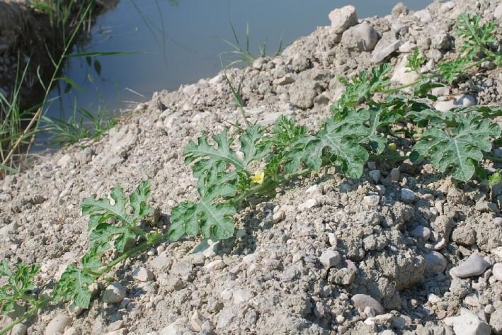 Citrullus lanatus 12
