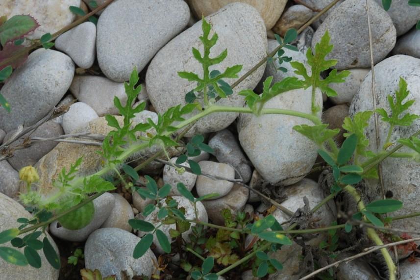 Citrullus lanatus 16