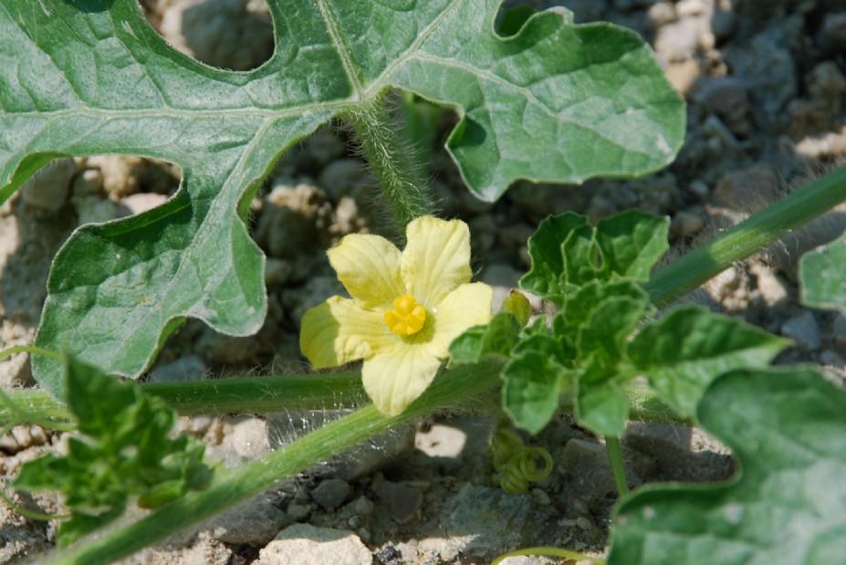 Citrullus lanatus 2