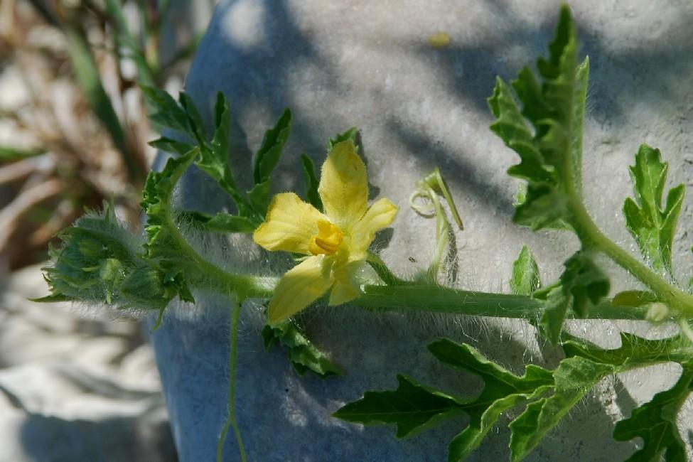 Citrullus lanatus 25