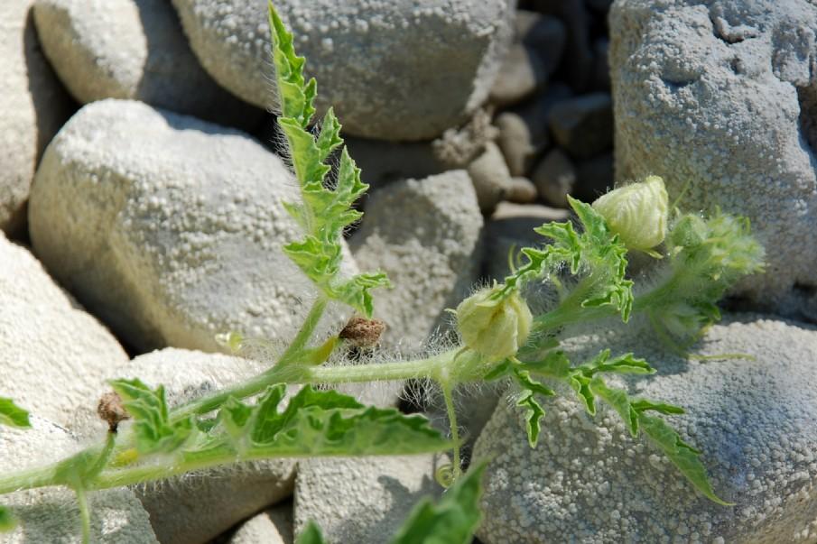Citrullus lanatus 26